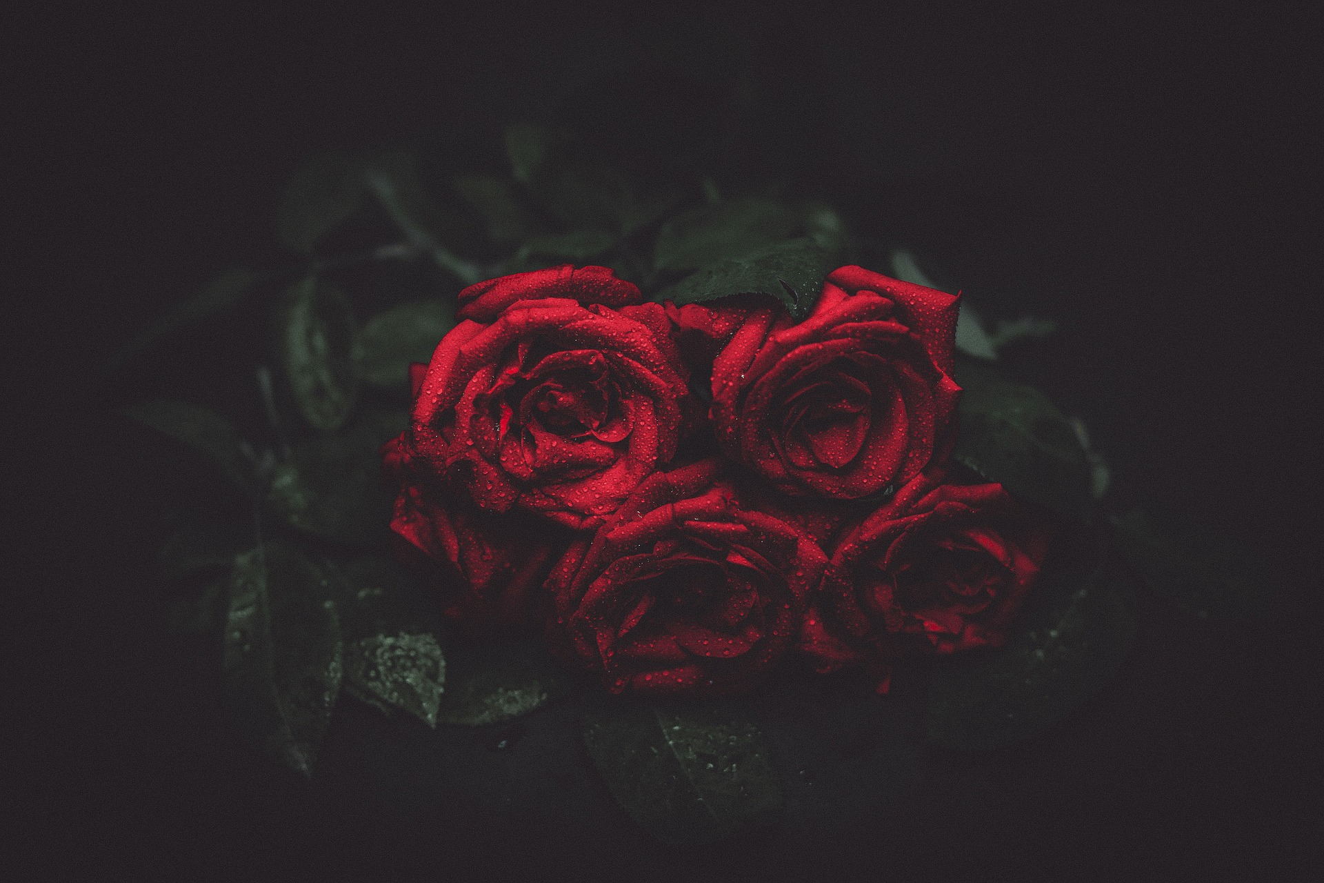 dewy red roses